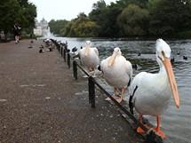 Londýn, tři pelikáni v St. James parku
