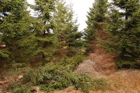 Poražené stromky zůstávají na místě. Mrtvé dřevo vytvoří živiny, stín a ochranu ostatním stromkům a přirozenému zmlazení.