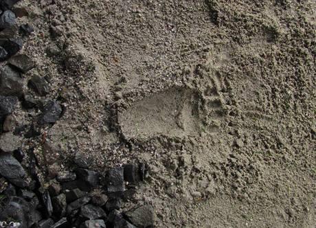 Otisk medvědí tlapy v písku nasypaném v železničním podchodu.