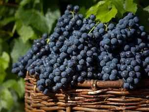 Plody vinné révy