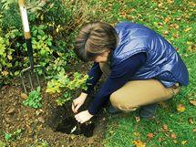 Stromky můžete sázet až do prvních mrazíků, většinou tedy zhruba do půlky listopadu