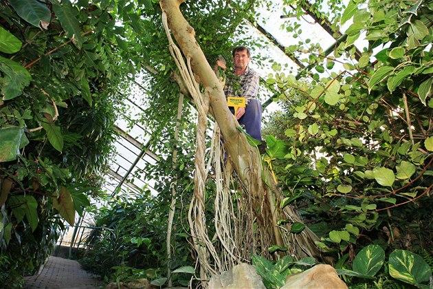 Zahradník František Vodrážka v unikátním skleníku v Hodoníně.