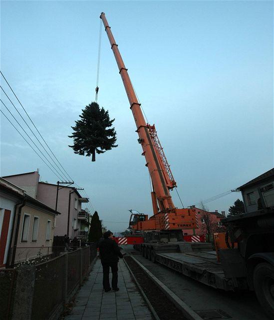 Letošní olomoucký vánoční strom, který bude umístěn na Horním náměstí, vybrala komise na zahradě rodinného domu v městské části Nemilany.