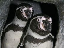 Tučňáci Humboldtovi
