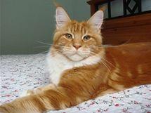 Mainská mývalí kočka v červené variantě
