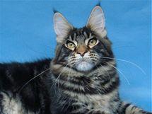 Mainská mývalí kočka je jedním z největších plemen