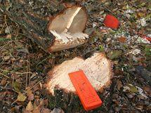 Na pařezu i na kmeni pokáceného stromu jsou zřetelné jednotlivé řezy