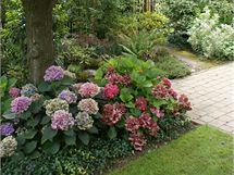 Kvetoucím hortenziím se nejvíc daří ve stínu slivoně s ne příliš hustou korunou