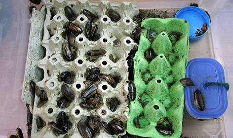 Chov švábů v plastových kontejnerech