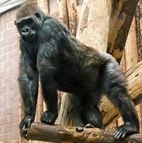 Gorilí samice Bikira, která se má každým dnem stát novým přírůstkem pražské zoo