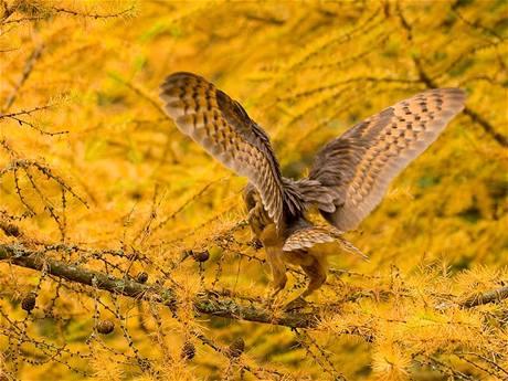 Sova pálená (Tyto alba) s roztaženými křídly.