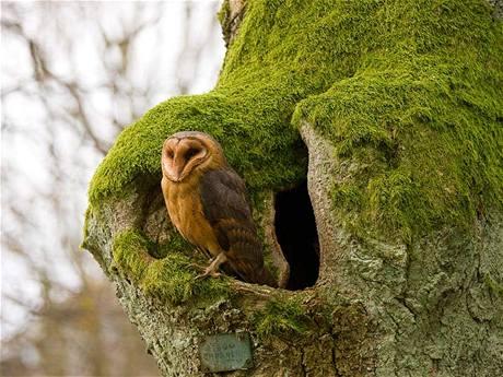 Sova pálená (Tyto alba) s oblibou hnízdí v dutinách starých stromů.