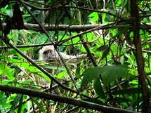 Na Ko Tarutao jste stále pozorování bystrýma očima drzých opic