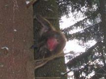 Uprchlý makak na stromě u silnice mezi Baldou a Stašovem.