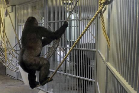 Bikiru od ostatních pražských goril poprvé oddělují jen mříže