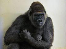 Samice Bikira krátce předtím, než se poprvé setkala přes mříže s pražskou gorilí rodinou