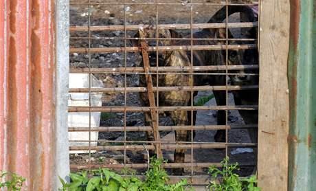 Psi za plotem statku ve Chvoječné, kde byly loni nalezeny ostatky zabitých psů