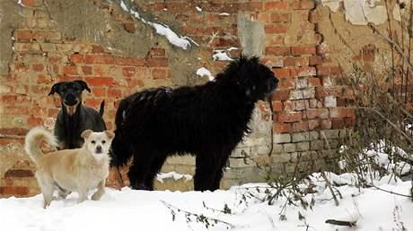 Psi pobíhající po osadě ve Chvoječné