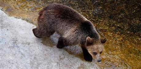 Medvěd hnědý na Slovensku. Ilustrační foto