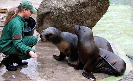 Lachtani hřivnatí Hugo a Betty při krmení ve zlínské zoo.