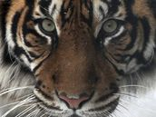 V jihlavské zoo se páří tygři sumaterští, na jaře by mohla mít zahrada nový přírůstek