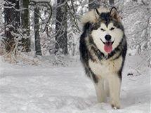 Smečka Aljašských malamutů radostně pobíhá zasněženým Klánovickým lesem na okraji Prahy. (2. prosince 2010)