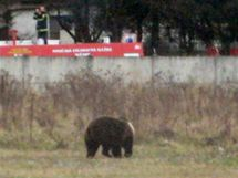 Medvěd hnědý v průmyslové zóně slovenské obce Sučany. (28. listopadu 2010)