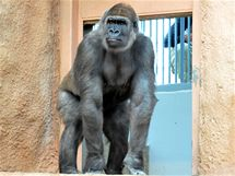 Bikira se rozhlíží po gorilí expozici, kam byla právě vypuštěna