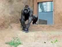 Bikira poprvé v gorilí expozici, zatím sama