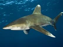 Žralok dlouhoploutvý
