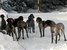 U Třech Studní na Žďársku trénovali v sobotu majitelé psích spřežení.