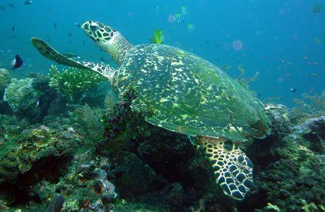 Při potápění na Bali se kameraman Tripes setkal i s karetou velkou.