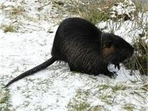 Nutrie, která zimuje v centru Přerova na soutoku Bečvy a mlýnského náhonu Strhance.