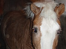 Hasiči zachraňovali v Poteči na Zlínsku koně z ledové vody.