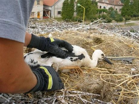 Hasiči vysvobozují mladé čápy bílé z provázku, které byly součástí hnízda