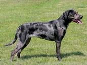 Louisianský leopardí pes