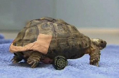 """Želví sameček má nejen prasklý krunýř, ale i poškozenou páteř. Díky """"invalidnímu vozíku"""" však má šanci na uzdravení"""