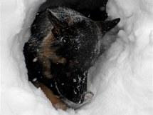 Výcvik lanovinového psa v Krkonoších