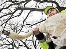 Navrácení zachráněných labutí na Labe do Pardubic