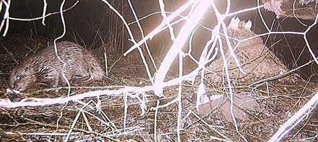 V lokalitě Devíti mlýnu v Národním parku Podyjí se poprvé podařilo vyfotografovat bobra evropského.