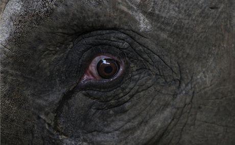 Březí slonice Vishvesh z ostravské ZOO