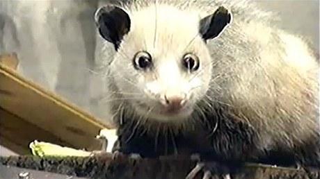 Dvaapůlletá vačice Heidi přicestovala do lipské zoo ze Severní Karolíny
