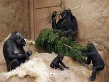 Po Třech králích si gorily pochutnaly na větvích ze smrku ze Staroměstského náměstí