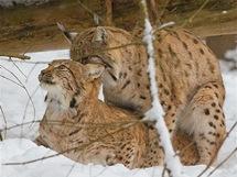 Bavorský les. V areálu zvířecích výběhů nedaleko obce Ludwigsthal můžete zvlášť dobře pozorovat rysy.