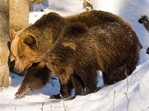 Bavorský les. Výběh medvědů hnědých patří v areálu u Neuschönau k velmi oblíbeným.