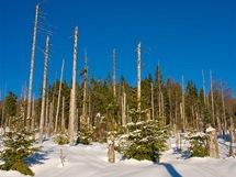 Bavorský les. Cestou směrem na vrchol Luzný spatříte i tzv. mrtvý les. Jak můžete vidět, z napadení kůrovcem v závěru 20. století se zdejší les velmi úspěšně vzpamatovává vlastními silami.