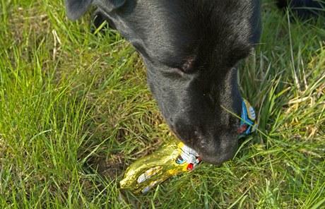 Zdaleka ne každý majitel psa nebo kočky ví, že čokoláda je pro zvířata toxická