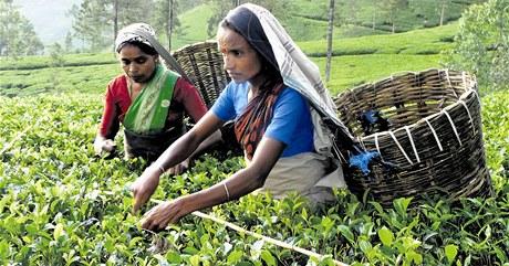Obecně platí, že ručně sbíraný čaj je kvalitnější. Záleží ale i na počasí a na tom, ze které plantáže čaj pochází. Vy si ho můžete koupit jak sypaný, tak porcovaný