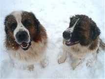 Moskevský strážní pes, který vypadá jako menší bernardýn, je jedním z nových plemen, které se u nás objevují