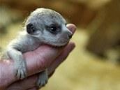 V jihlavské zoologické zahradě se narodila čtyři mláďata afrických surikat.